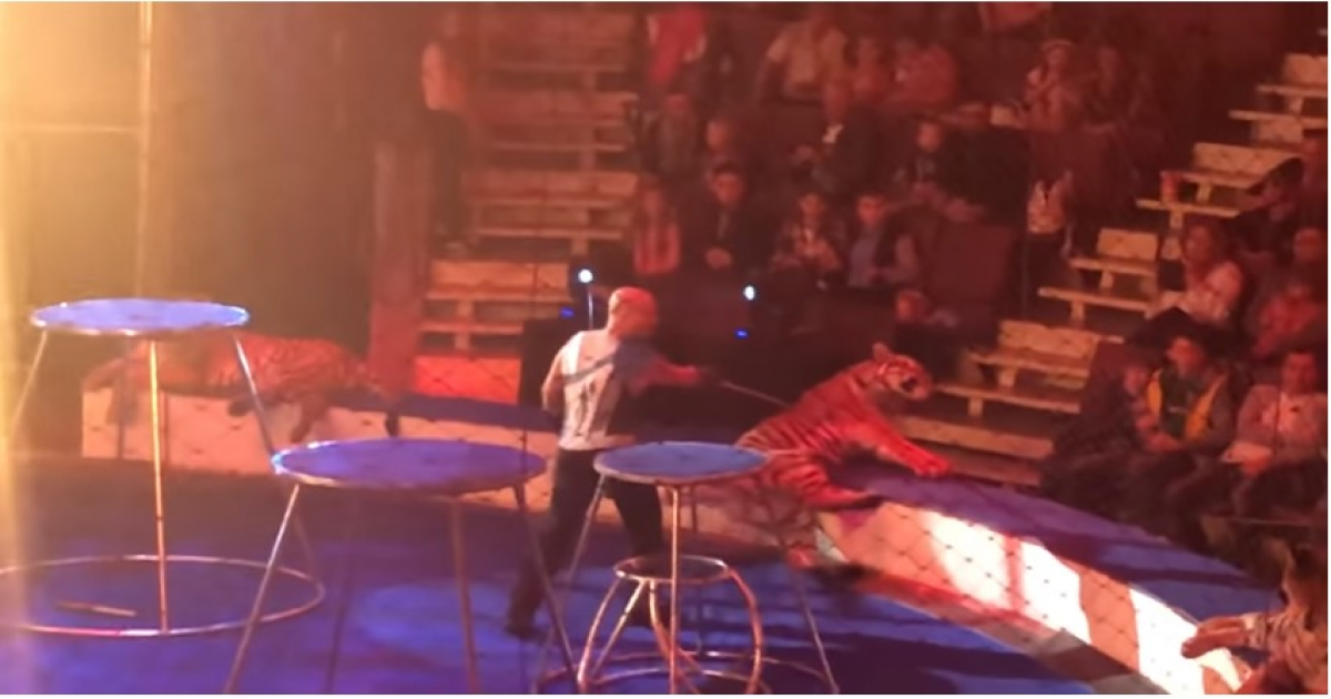 Tiger Suffers Seizure And Freezes After Being Forced To Jump Through Ring Of Fire.