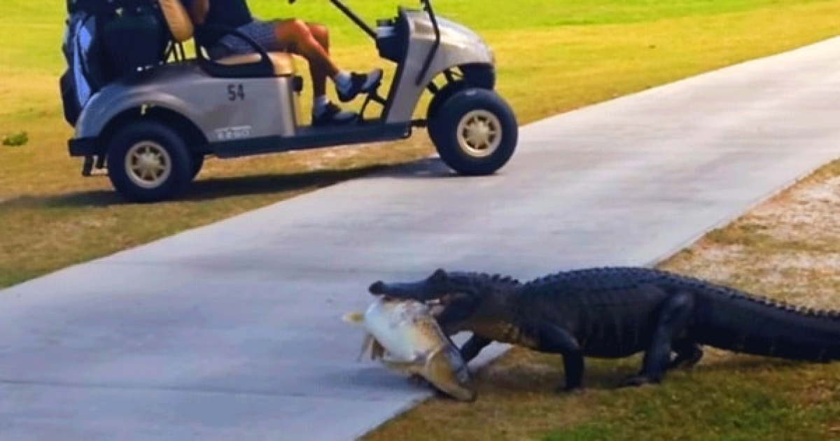 Alligator Struts Across Golf Course With Huge Fish in Mouth.